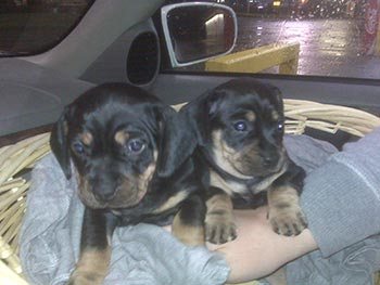 Our new puppies